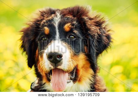 Bernese Mountain Dog Berner Sennenhund Puppy Close Up