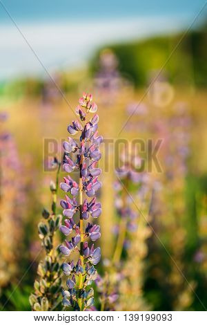 Wild Flowers Lupine In Summer Field Meadow At Sunset Sunrise. Close Up. Lupinus, Commonly Known As Lupin Or Lupine, Is A Genus Of Flowering Plants In The Legume Family, Fabaceae.