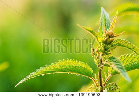 The Twig Of Wild Plant Nettle Or Stinging Nettle Or Urtica Dioica In Summer Spring Field At Sunset Sunrise. Close Up, Detail, At Green Background, Copyspace.