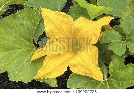 A yellow squash flower wet with dew drops blooms in the summer garden.