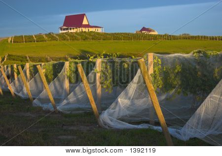 Vineyard With Vines Covered With Bird-Protective Net
