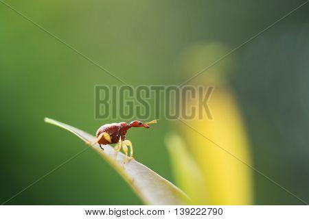 Trachelophorus Giraffa (thailand Specie) ,beetle Bug Perching On Green Leaf As Background