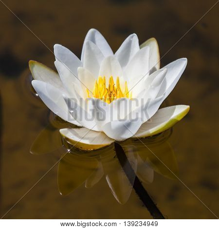 White Lily floating on the water in the pond