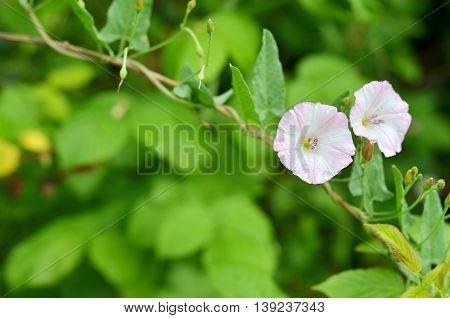 Flowering field bindweed (Convolvulus arvensis) in a garden