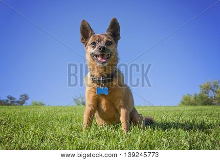 a tiny chihuahua pug mix on a green grassy hill smiling against a blue sky background on a hot summer day