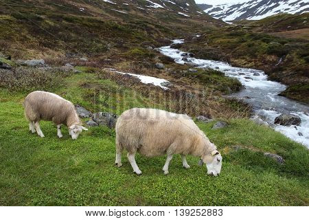 Norway Sheep