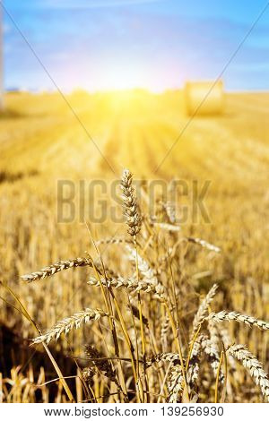 Golden Ears Of Grain Crops After Harvesting