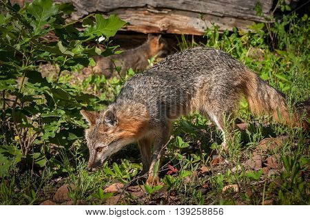 Grey Fox Vixen (Urocyon cinereoargenteus) Walks Left - captive animals