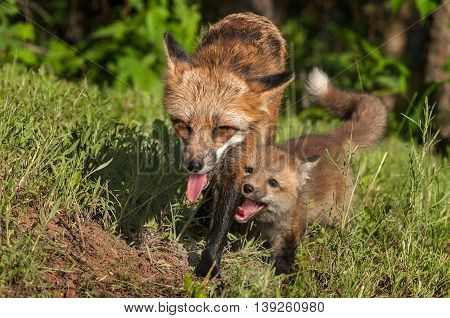 Red Fox Vixen (Vulpes vulpes) and Kit Walk Forward - captive animals