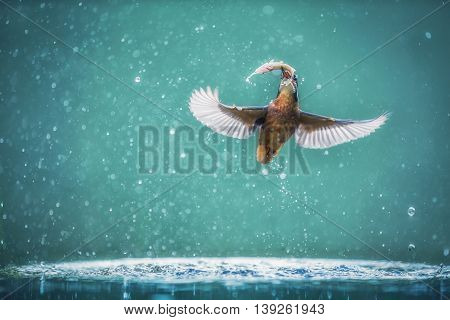 Common Kingfisher By The River Fishing Latin name is Common Kingfisher Alcedo atthis