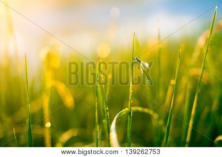 dragonfly in the dewy grass. sun glare in the dew on the grass, a dragonfly sitting on a blade of grass. the concept of serenity in nature. blur, glare, defocused