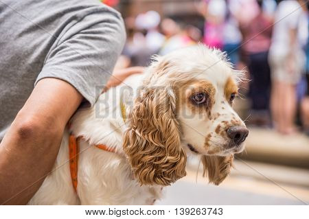 Young sable and white Cocker Spaniel in owner's arms