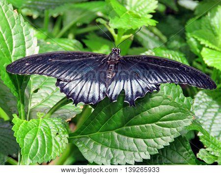 Black Great Mormon butterfly in garden of Niagara Falls Ontario 16 July 2016 Canada