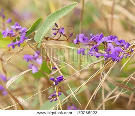 Purple flowers of Australia native Sarsaparilla an Australian winter wildflower vine Hardenbergia violacea