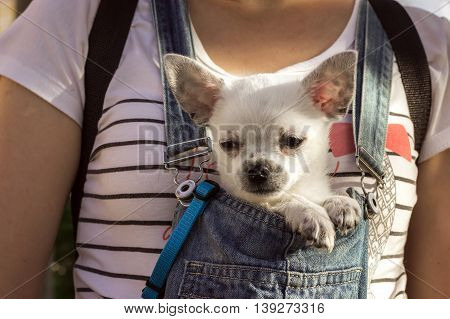 funny puppy chihuahua in the bosom of the girl looking