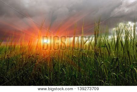 spikelets of wheat in a field on a background of storm clouds at sunset