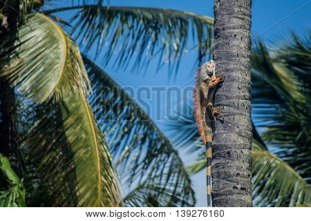 Iguana climbing palm tree trunk Martinique island