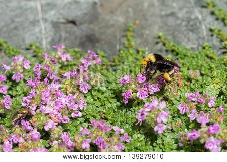 Bumble bee feeding on the nectar of a creeping thyme flower