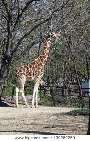A tall reticulated giraffe (Giraffa camelopardalis reticulata) stands in profile.
