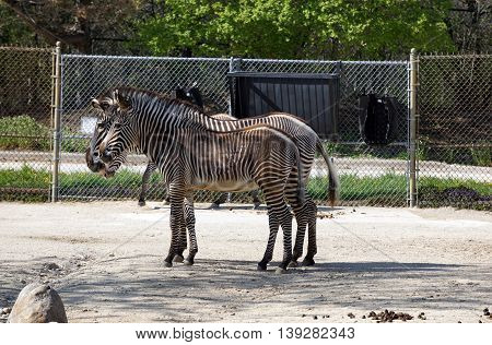 Two Grevy's zebras (Equus grevyi) stand together in profile, their stripes seeming to blend together.