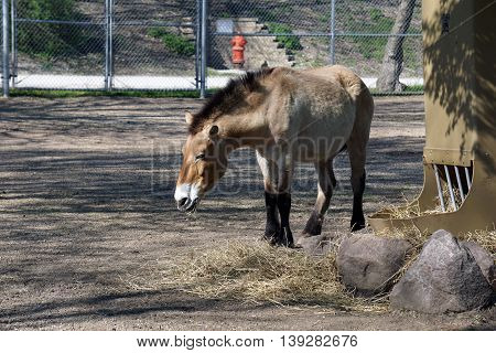 A Przewalski's wild horse (Equus ferus przewalskii) nibbles some hay.