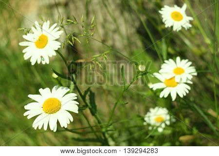 Flowering. Blooming Chamomile Near The Tree Stump. Blurred Background