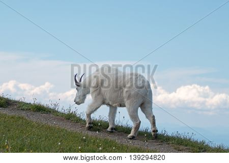 Male Billy Goat walking up Hurricane Hill in Olympic National Park in Washington USA