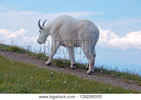 Male Billy Goat walking up Hurricane Ridge in Olympic National Park in Washington USA