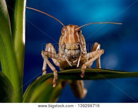 Portrait of a locust. The muzzle is the locusts macro