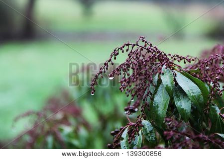 Fresh Andromeda plant with dew drops closeup. Nature Background