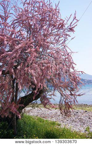 Blooming tree pink tamarisk on the seashore