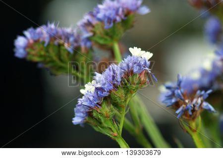 Inflorescence blue statice on blurred dark background