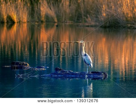 Great Blue Heron standing in the middle of a pond near sunset on the Chesapeake Bay in Maryland