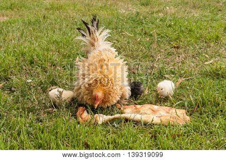 closeup of pekin hen with chicken feeding on bread