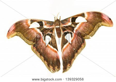 Attacus Atlas or Prince of Darkness on a white background. The biggest moth.