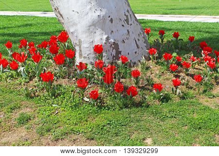 Flowerbed of red tulips around sycamore in Topkapi palace, Istanbul, Turkey