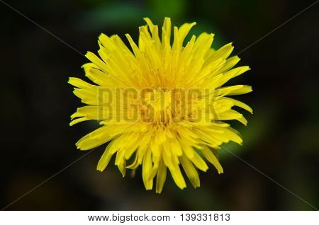 Closeup Photo Of A Yelow Dandelion
