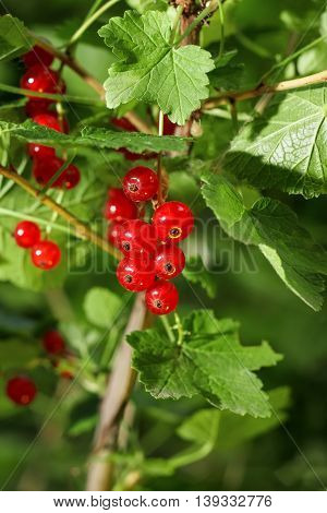 Ripe red currants hanging from bush ready for harvest. Red currant. Red currant twig against green leaves background. Closeup of red currant in the fruit garden