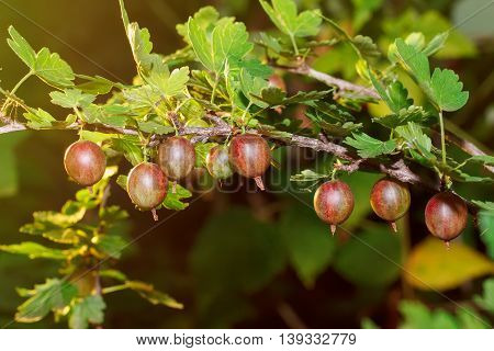 Fresh red gooseberries on a branch of gooseberry bush with sunlight. Gooseberry in the fruit garden. Gooseberry. Fresh and ripe organic gooseberries growing in the garden. Concept my garden