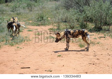 The African Wild Dog in the bushveld Namibia