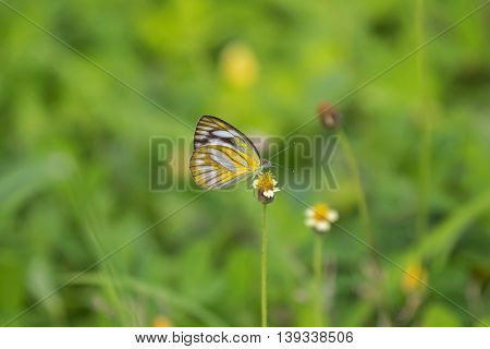 Soft focus of the Common Gull butterfly in yellow and white feeding on flowers in the summer meadow in Thailand, Asia. (Cepora nerissa)