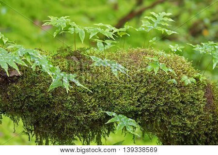 Epiphytic fern and fresh green Peat moss, Sphagnum Moss growing in the forest in Chiangmai, Thailand