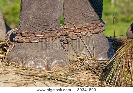 Elephant feet on the chain in the breeding centre in Chitwan National Park, Nepal