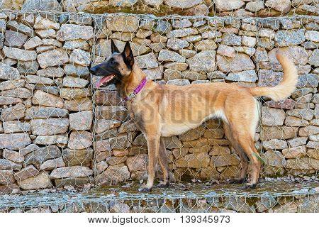 Malinois Belgian Shepherd dog on the background stone wall
