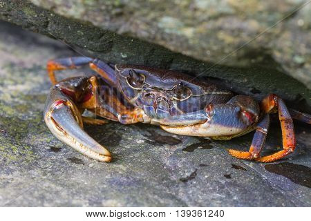 Fresh water crabCrab crustacean in rain forest
