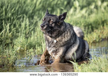 Fluffy dog is bathed in the muddy water