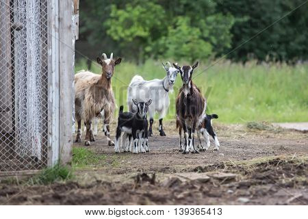 Family of goats in the farm at sunny day