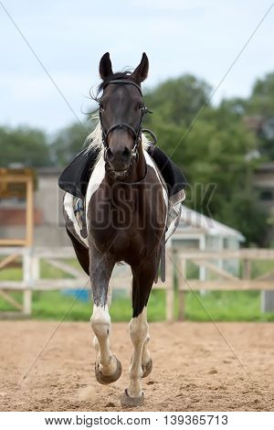 Piebald horse on arena at summer day