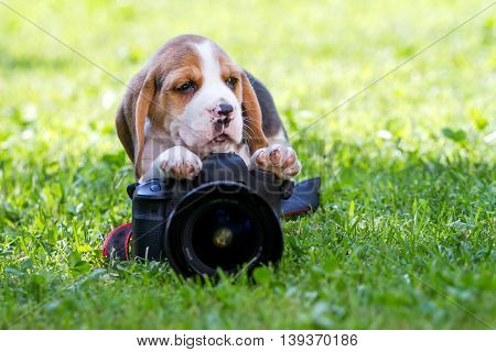 beagle puppy shooting a photo with a camera in the grass