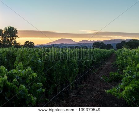 Napa Valley, California vineyard row with mountains at sunset. Purple mountains in Napa wine country with lush green grapevine row.